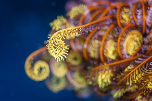 Curling Crinoid Tendrils