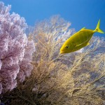 Golden Trevally and Sea Fans