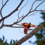 Red Bird of Paradise 3