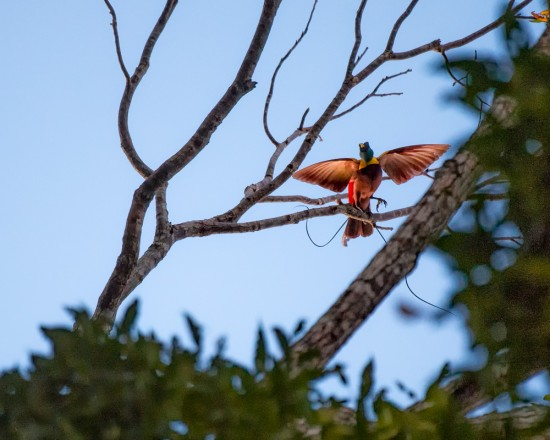 Red Bird of Paradise 4