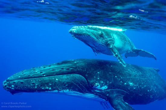 CBPP_20130831_Whale-122-M