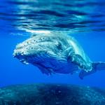 CBPP_20130831_Whale-128-M