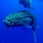 CBPP_20130831_Whale-134-M