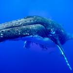 CBPP_20130831_Whale-145-M