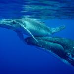 CBPP_20130831_Whale-211-M
