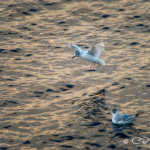 Terns at sunset, Campbell River
