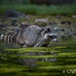 Raccoon foraging in the Octopus Islands