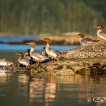 Flock of ducks, Octopus Islands