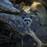Baby raccoon in the Octopus Islands