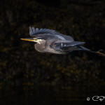 Great Blue Heron in flight, Bodega Anchorage