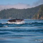 Humpback whale tail, Blackfish Sound
