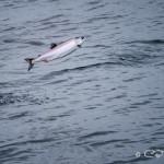 Salmon jumping, Johnstone Strait