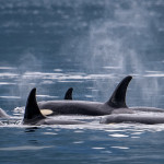 Pod of Orcas with baby leading the way, Blackney Passage