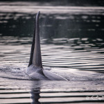 Male Orca dorsal fin, Blackfish Sound