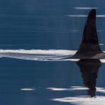 Male Orca dorsal fin, Blackney Passage