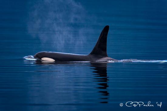 Male Orca, Blackney Passage