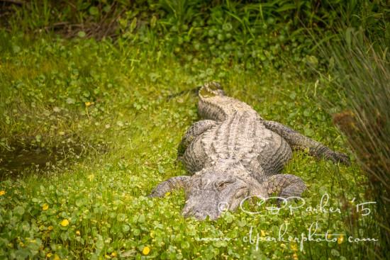 Resident at Alligator Adventure - Barefoot Landing, South Caroli