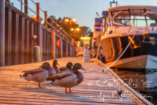 Ducks on a Dock - Barefoot Landing, South Carolina 2015