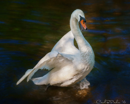 An Angry Swan